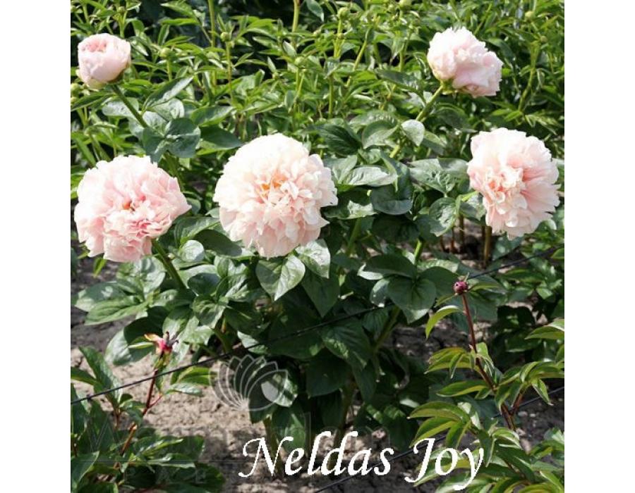 Nelda's Joy