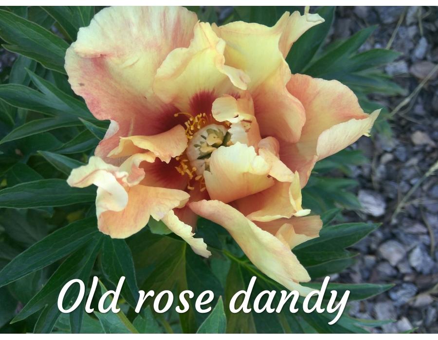 Old Rose Dandy