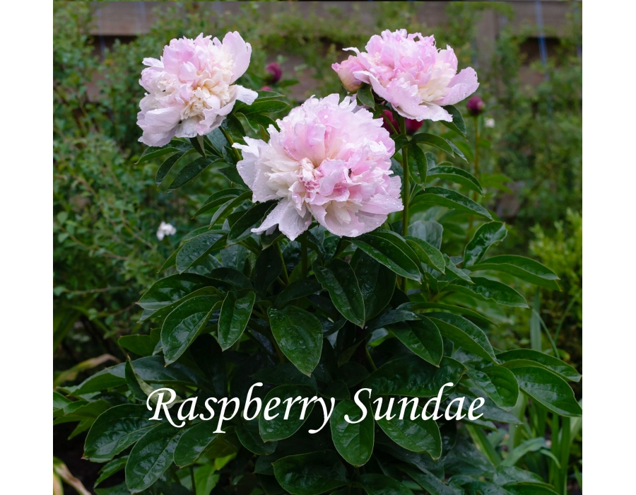 Raspberry Sundae