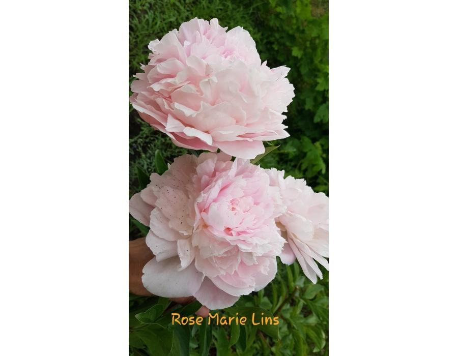 Rose Marie Lins