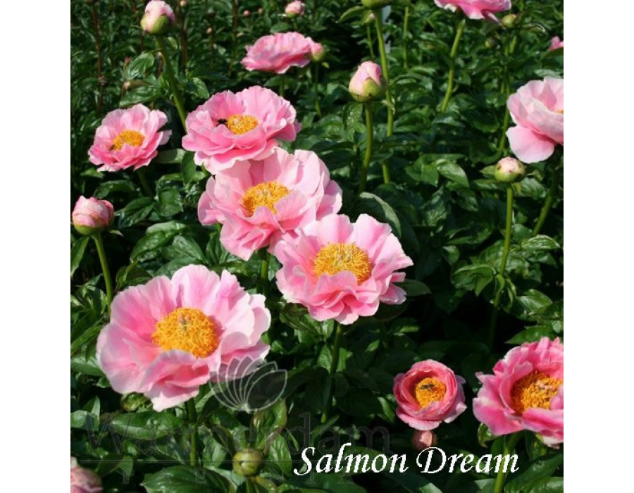 Salmon Dream
