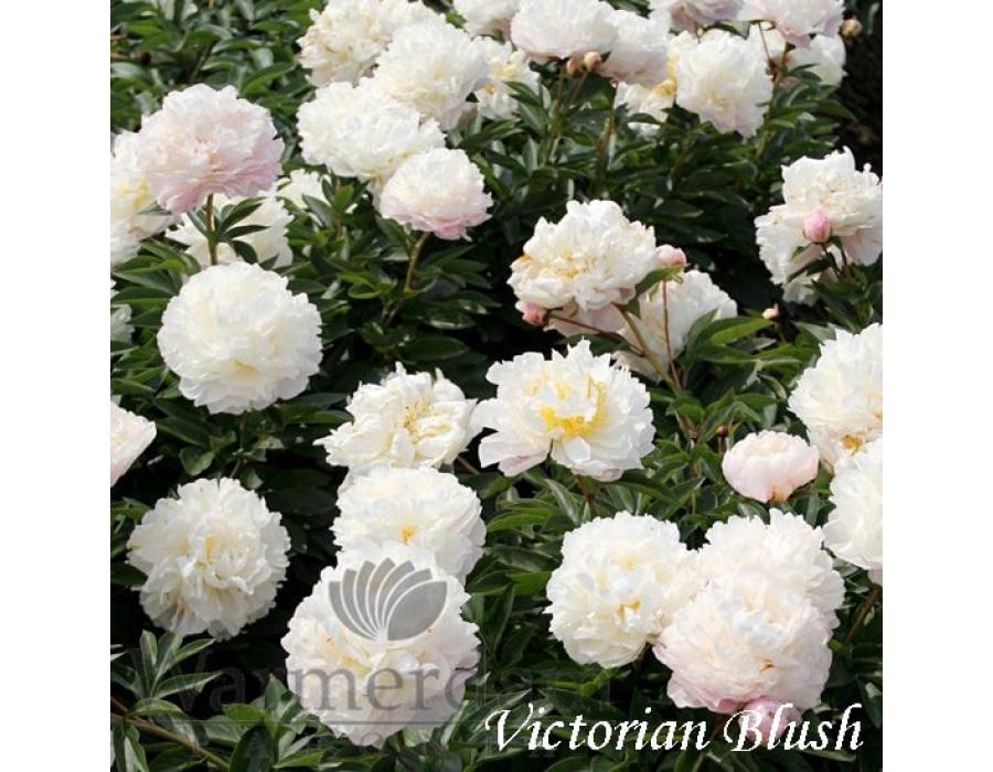 Victorian Blush
