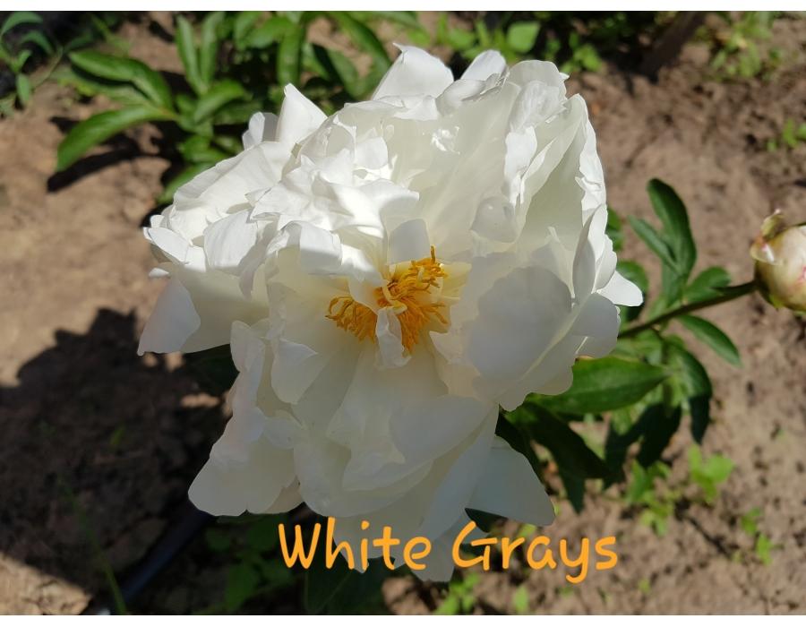 White Grace